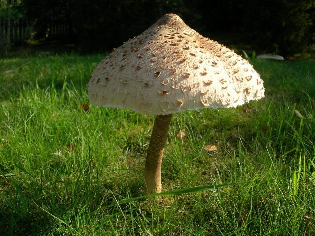 Recept pro houbaře: Smažené bedly